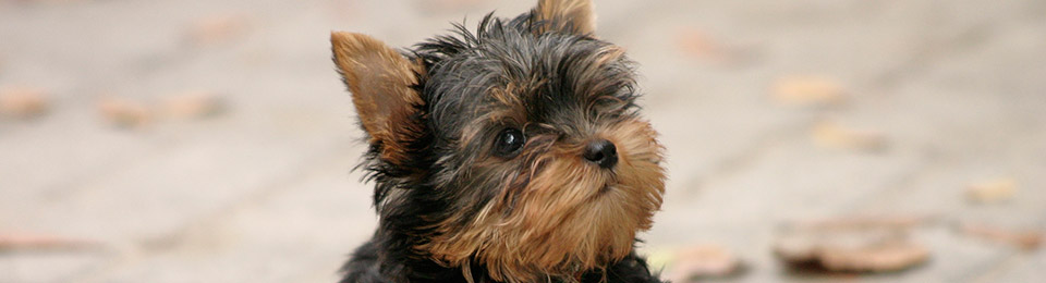 General Image - Dog Morkie